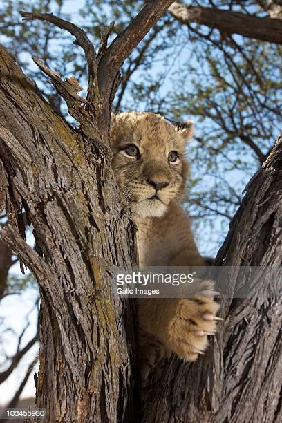 Lion Cub (Panthera Leo) sitting in tree, Namibia