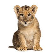 Lion cub sitting, looking at the camera