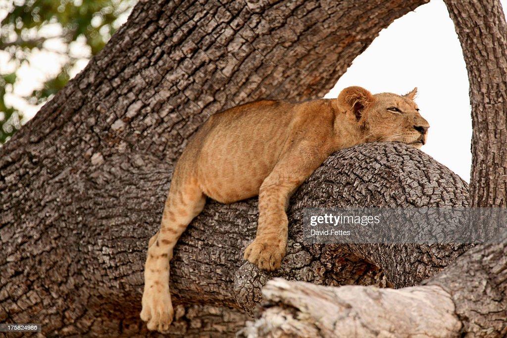 Lion cub sleeping in tree, Selous National Park, Tanzania, Africa : Stock Photo