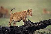 Lion cub (Panthera leo), standing on log, Kenya
