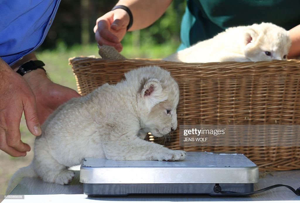 A lion cub steps on the scales during a presentation to the press on May 6, 2016 at the zoo in Magdeburg, eastern Germany. Two lion cubs were born at the zoo on April 26, 2016. / AFP / dpa / Jens Wolf / Germany OUT