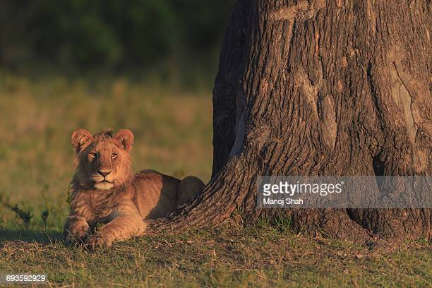 Lion cub waiting for another cub