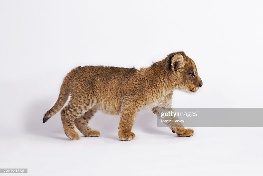 Lion cub (Panthera leo) walking, side view : Stock Photo