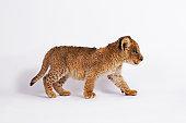 Lion cub (Panthera leo) walking, side view