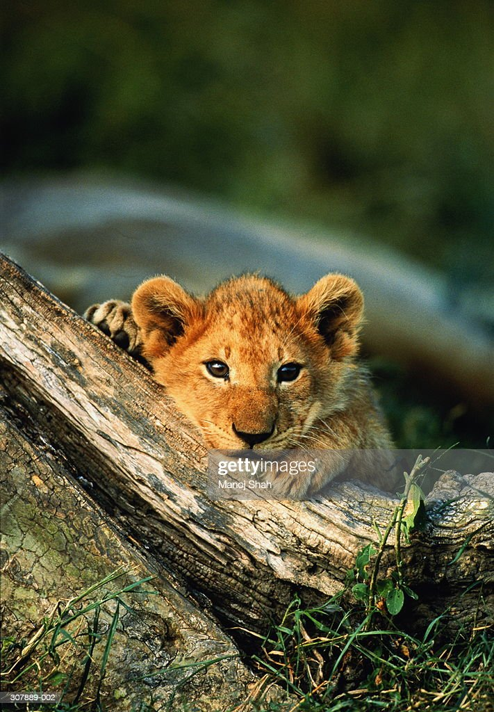Lion cub with chin resting on raised tree root,Maasai Mara,Kenya : Stock Photo