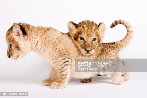 Lion cubs (Panthera leo) against white background, close up : Stock Photo