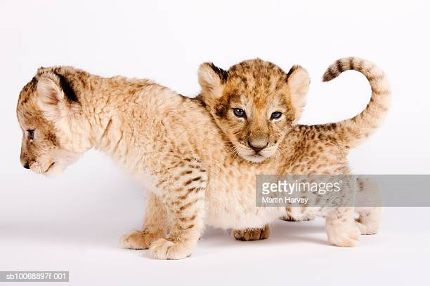Lion cubs (Panthera leo) against white background, close up