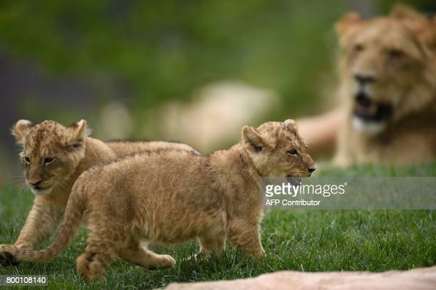 Lion cubs are pictured inside the new enclosure 'La Terre des Lions' on June 23 2017 at the Zooparc of Beauval / AFP PHOTO / GUILLAUME SOUVANT