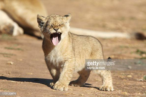 A lion cubs explores its enclosure at Monarto Zoo on July 8 2013 in Adelaide Australia Three Lion cubs born April 24 2013 made their public debut...