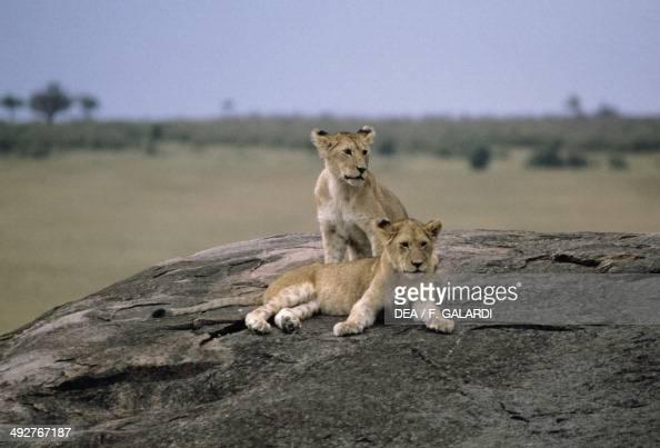 Lion cubs Felidi Masai Mara National Reserve Kenya