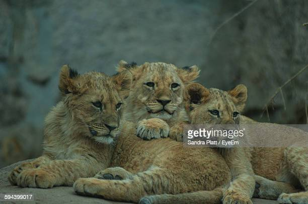 Lion Cubs Lying On Rock In Zoo