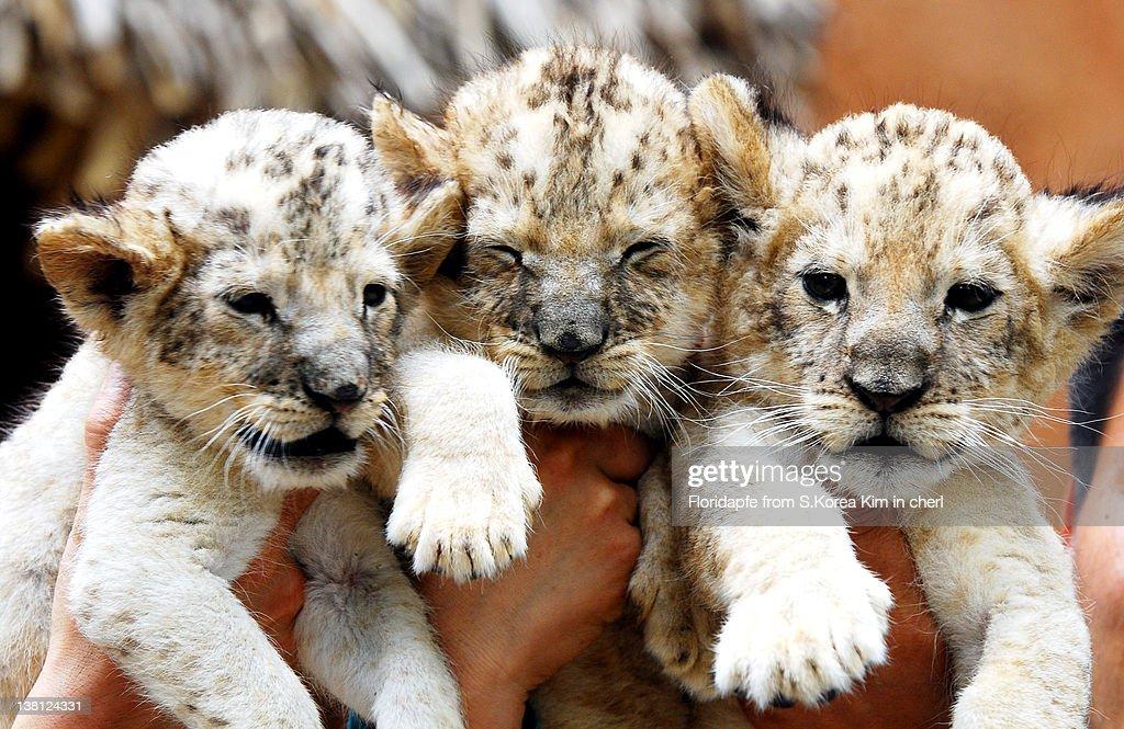 Lion cubs : Stock Photo