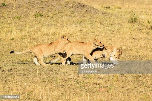 Lion cubs playing : Stock Photo
