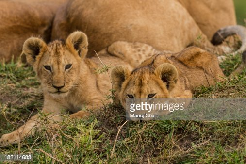 lion cubs resting on mound with mother : Stock Photo