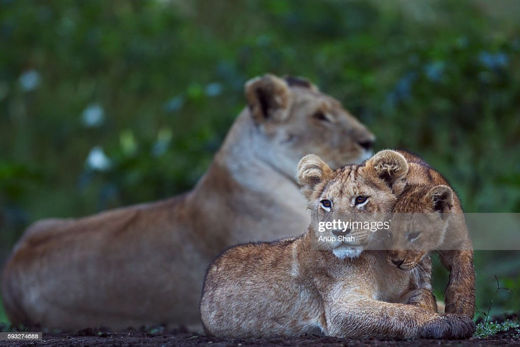 Lion cubs sitting with lioness