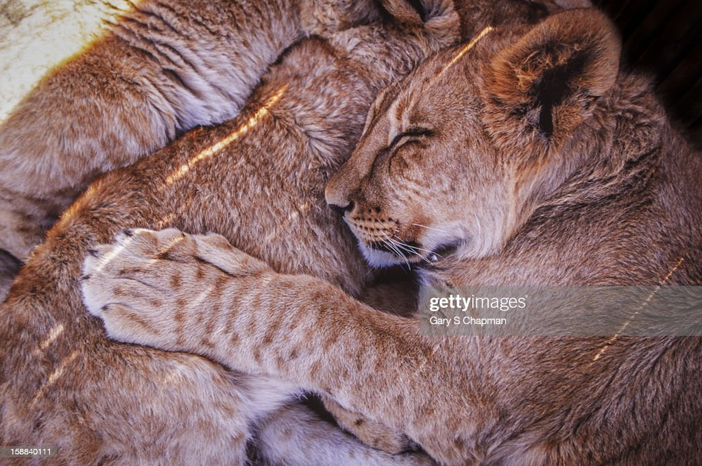 Lion cubs sleeping, South Africa : Stock Photo