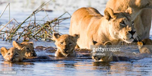 Lion cubs swimming with their mother lioness