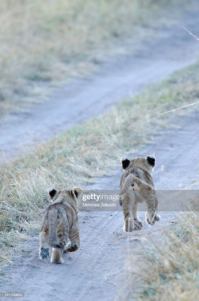Lions walking together - photo#18