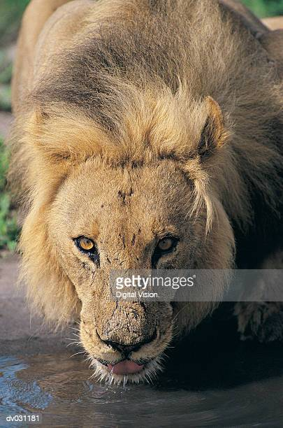 Lion (Panthera Leo), drinking, Savuti Marsh, Botswana