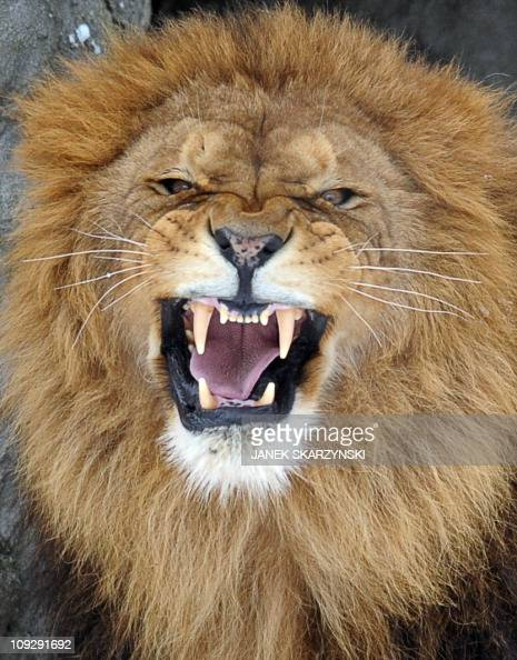 Lion 'Dukat' bares his fangs in Warsaw's zoo on February 182011 AFP AFP PHOTO / JANEK SKARZYNSKI
