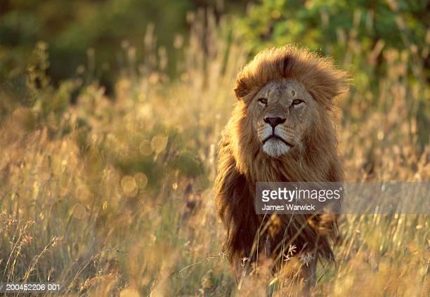 Lion (Panthera leo), dusk