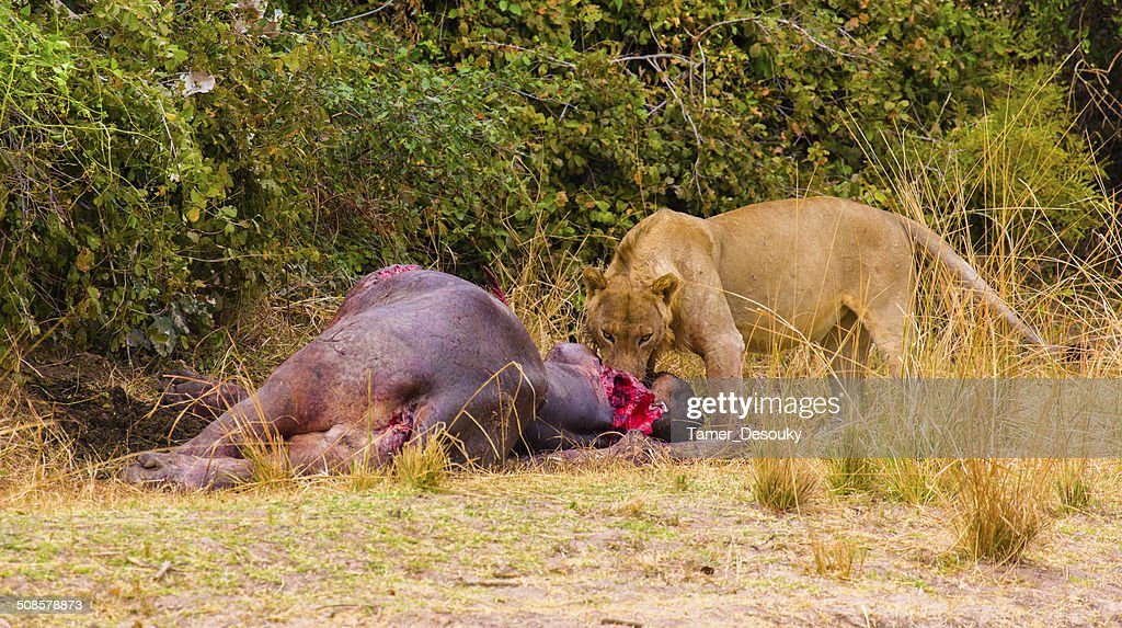 Lion eating a hippo : Bildbanksbilder