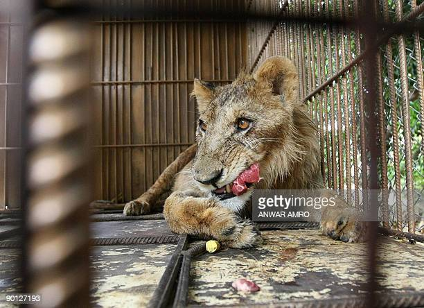 A Lion eats meat inside his cage at a zoo in the Lebanese town of Aley in the mountains southeast of Beirut on August 28 2009 The starving lion cub...