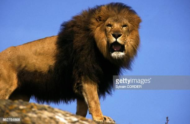 Lion en Afrique
