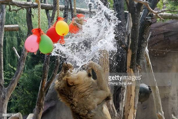 A lion enjoys water during the summer season to get by the heat at the Everland Amusement Park on June 21 2017 in Seoul South Korea