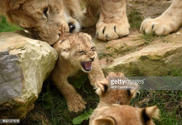 A lion family is pictured inside the new enclosure 'La Terre des Lions' on June 23 2017 at the Zooparc of Beauval / AFP PHOTO / GUILLAUME SOUVANT