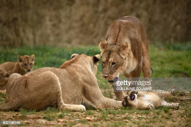 A lion family is pictured inside the new enclosure 'La Terre des Lions' at the Zooparc of Beauval / AFP PHOTO / GUILLAUME SOUVANT