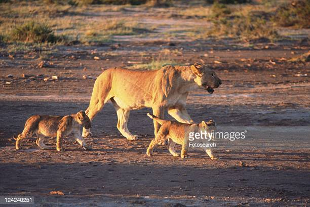 Lion Family, Mother and Children, Side View