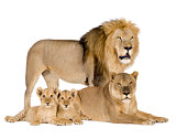 Lion family - Panthera leo