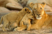 young cubs rub up against mom