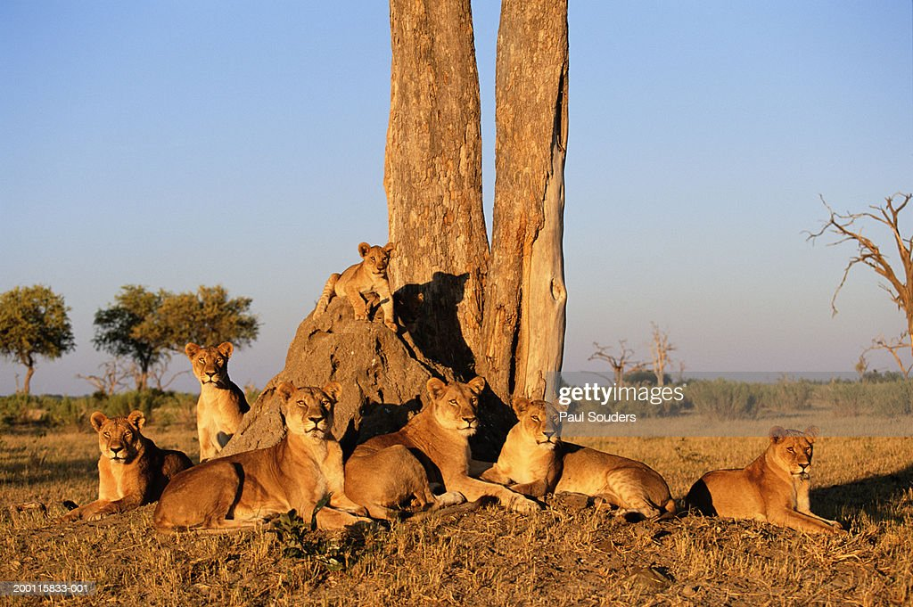 Lion (Panthera leo) family resting under tree at sunrise : Stock Photo