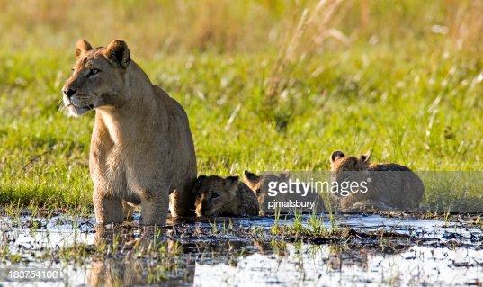 ライオンご家族での水遊び shallows
