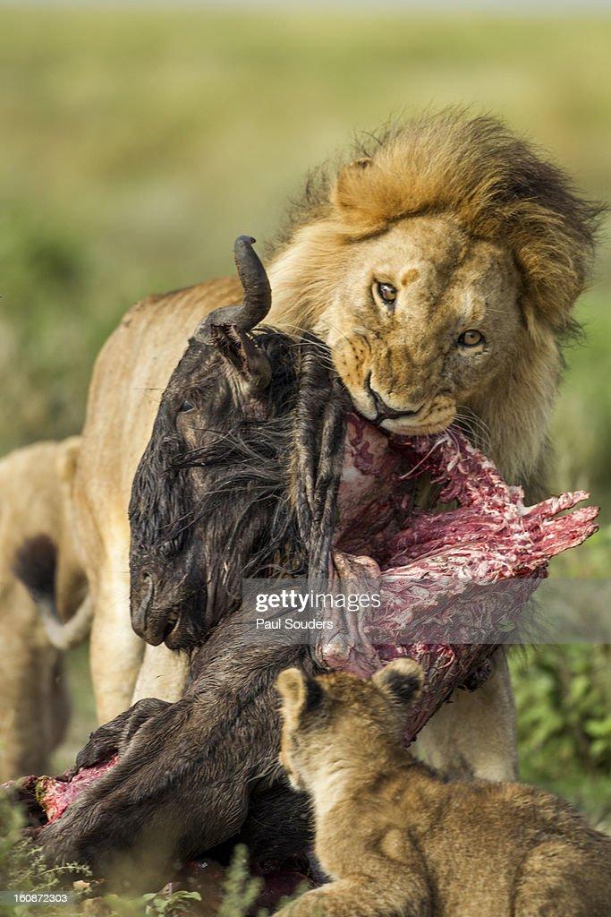 Lion Feeding on Kill, Ngorongoro, Tanzania : Stock Photo