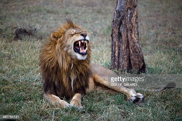 Lion Felidae