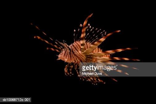 Lion fish against black background : Stock Photo