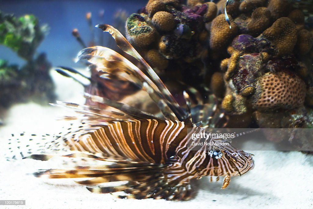 Lion fish : Stock Photo