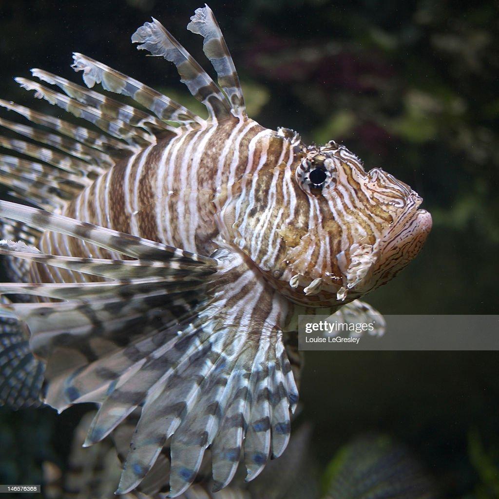 Lion- fish : Stock Photo
