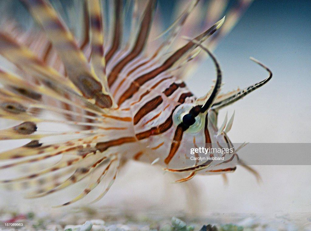 Lion Fish : Stock Photo