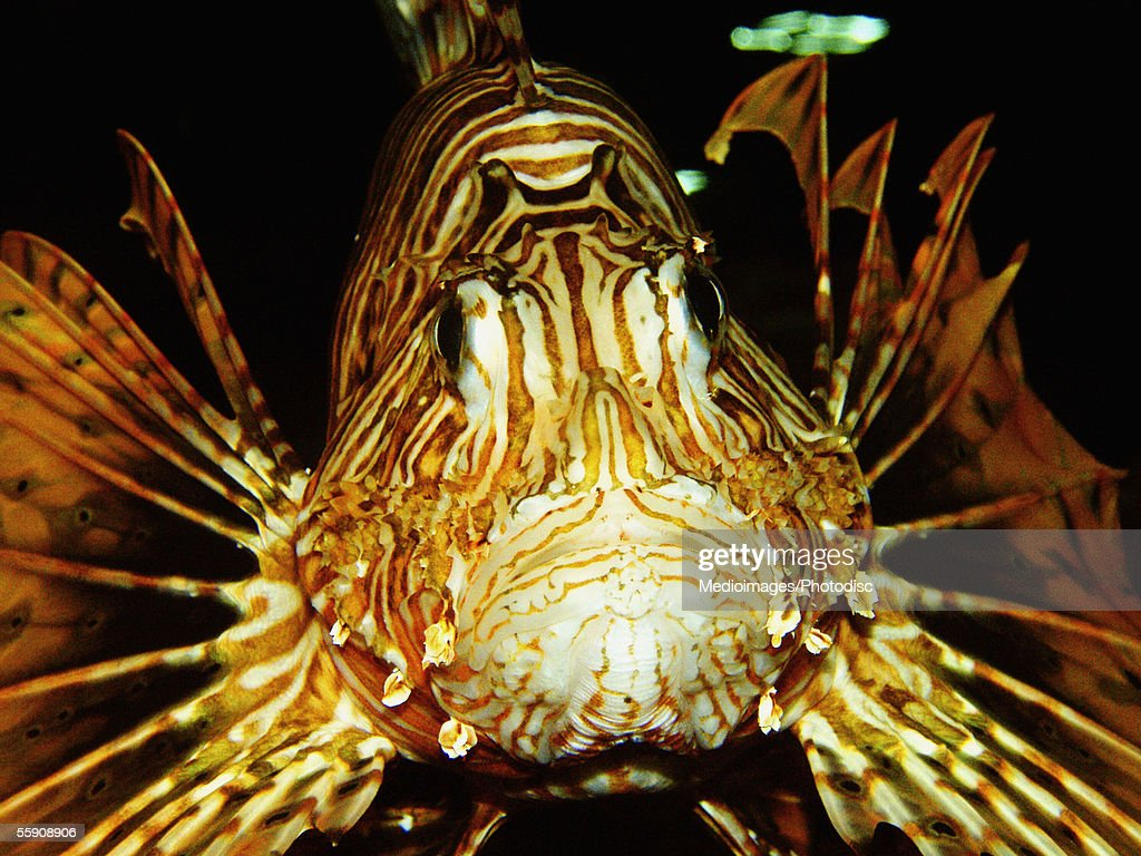 Lion Fish (Pterois volitans) : Stock Photo