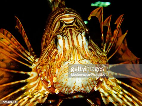 Lion Fish (Pterois volitans) : Stock Photo