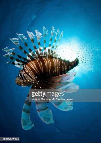 Lion fish swimming underwater : Stock Photo