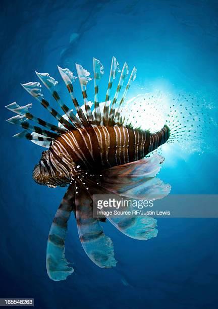 Lion fish swimming underwater