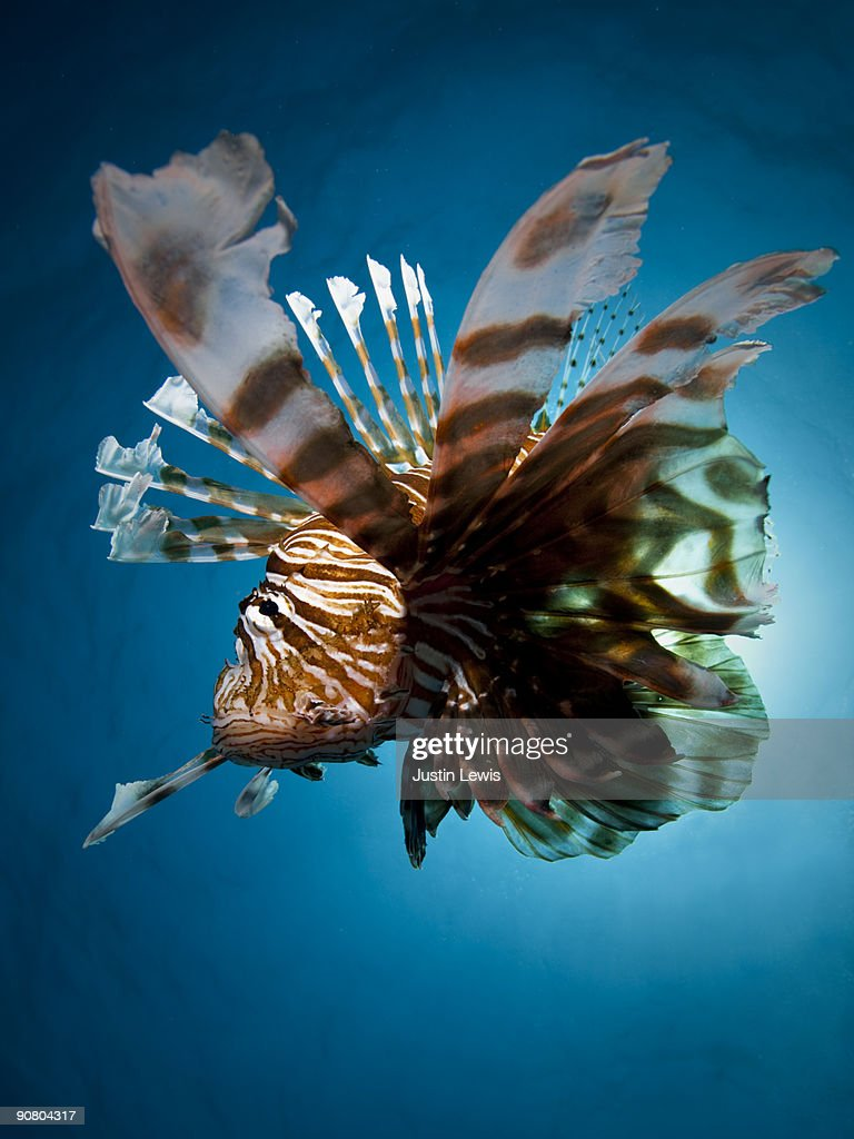 Lion Fish with sun in background : Stock Photo