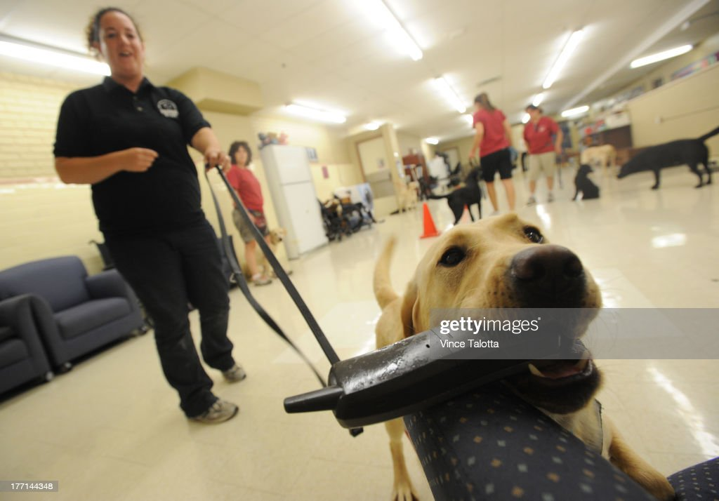 TORONTO, ON - AUGUST 20 - Lion Foundation Of Canda diabetic alert dog guide trainer Erika Ott with Nettle a female yellow Labrador trains to fetch a phone to notify somebody in an emergency at Lion Foundation Of Canda buiding in Oakville