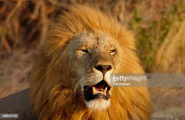 Lion Grumeti Tanzania East Africa
