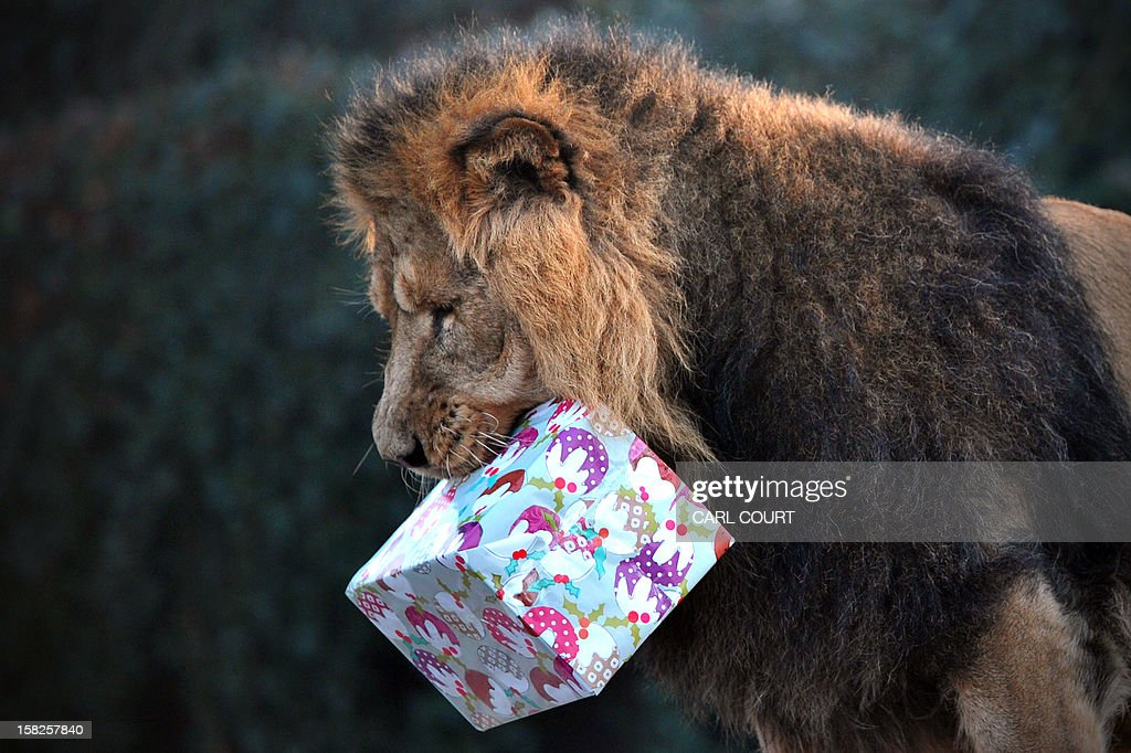 A lion holds a 'Christmas gift' during a photocall marking Christmas at the London Zoo in central London on December 12, 2012.